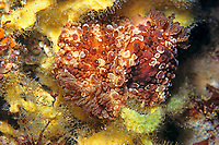nudibranch, Hoplodoris bifurcata, Izu ocean park, Sagami bay, Izu peninsula, Shizuoka, Japan, Pacific Ocean