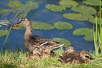Stockente, Stock-Ente, Weibchen am Gewässer mit ihren Küken, Anas platyrhynchos, mallard