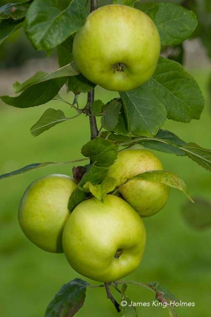 Apples variety Stirling Castle