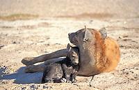 Baby hyaena (Crocuta crocuta), Amboseli NP, Kenya, Africa