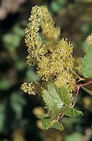 Océanie/Australie/South Australia/Australie Méridionale/Clare Valley: Vigne en fleur