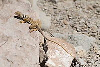Great Basin collared lizard, Crotaphytus bicinctores. Sloan Canyon National Conservation Area, Nevada