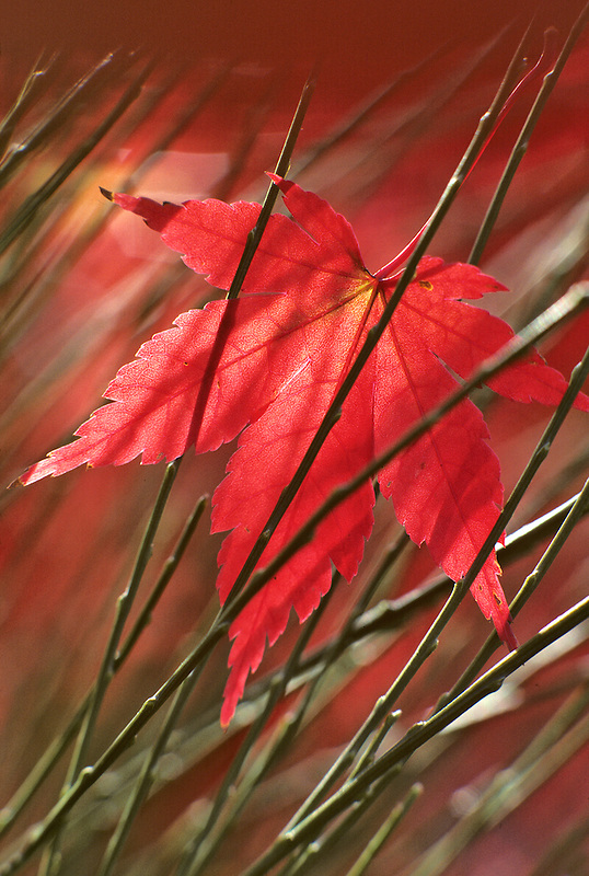 Japanese maple leaf in Scotch Pine. Near Alpine, Oregon.