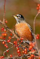 American Robin, Turdus migratorius, perched on Zumi crabapple tree full of ripe fruit