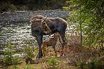 Yellowstone National Park, WY: Cow Moose nursing calf