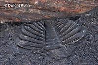 CX15-517z Trilobites Fossil, back-end Pygidium