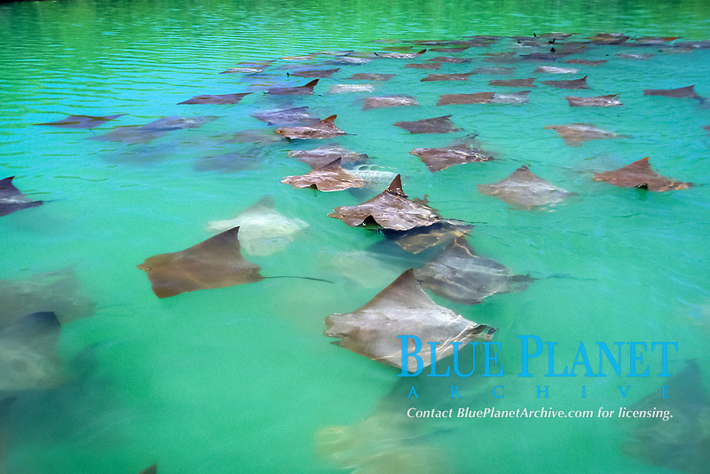 golden cow rays, Rhinoptera steindachneri, Blach Turtle cove, Santa Cruz Island, Galapagos Islands, Ecuador, Pacific Ocean