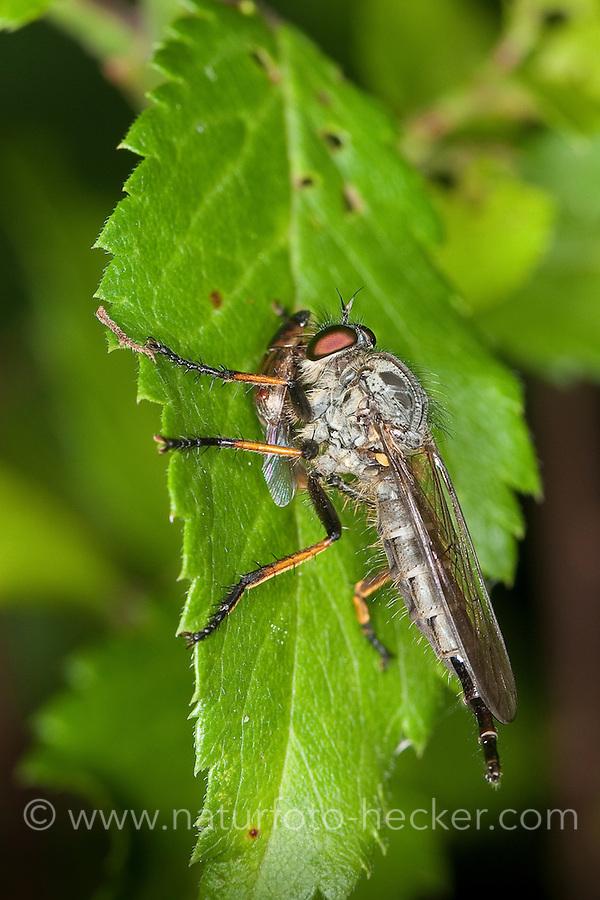 Raubfliege, Strauchdieb, Weibchen mit Beute, Neoitamus spec., (Neoitamus cf. cyanurus), robberfly, robber-fly, Raubfliegen, Mordfliegen, Asilidae, robberflies, robber flies