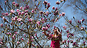 """14/04/15<br /> <br /> Ahead of the hottest day of the year, Lucie Bell marvels at the Magnolia Iolanthe tree at Lea Gardens near Matlock in the Derbyshire Peak District. Garden owner, Pete Tye said: """"The tree normally flowers two weeks earlier than this and its blooms usually succumb to frost - but it's been worth the wait this year as it's the best we've ever seen it"""".<br /> <br /> All Rights Reserved - F Stop Press.  www.fstoppress.com. Tel: +44 (0)1335 418629 +44(0)7765 242650"""