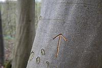 Tiwaz-Rune, Tyr-Rune, Teiwaz-Rune in Holz, Buchenstamm geritzt, geschnitzt, Buchenrinde, Rinde, Borke, Stamm, Pfeil, nordisches Runenalphabet, Symbol