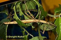 OR07-570z  Walking Stick Insect, Ctenomorphodes briareus