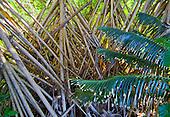 racines de pandanus