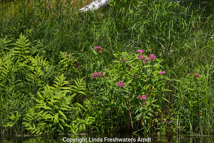 Swamp milkweed growing along the  Flambeau River