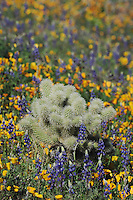 Teddy Bear Cholla Cactus (Opuntia bigelovii) in field of Mexican Gold Poppy (Eschscholzia californica mexicana) and Desert Lupine (Lupinus sparsiflorus), Tonto National Forest, Bartlett Lake , Arizona, USA
