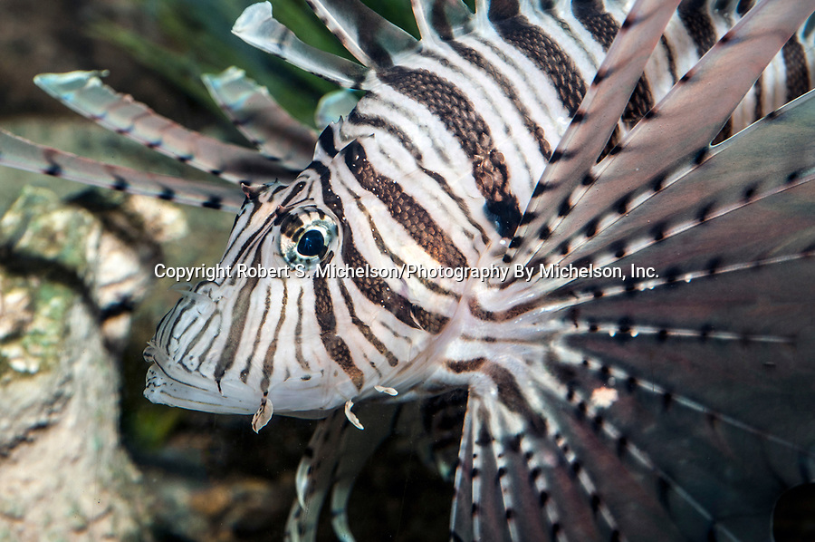 red lionfish, close-up facing left