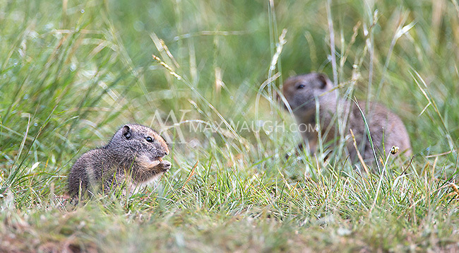Baby Uinta ground squirrels simply look like miniature versions of the adults.