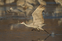 Sandhill Crane takeoff at Bosque del Apache NWR