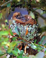 Volcano hummingbird nest