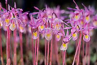 Calypso Orchids (Calypso bulbosa), sometimes called Fairy Slippers, blooming in Canadian Rockies.  June.