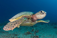 A green turtle or honu looks at the viewer off of O'ahu.