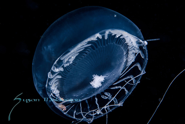 Aequorea forskalia, with amphipods, hyperiids,Black Water Diving; Jellyfish; Plankton; larval crustaceans; larval fish; marine behavior; pelagic creatures; pelagic larval marine life; plankton creatures; underwater marine life; vertical migration marine creatures