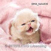 Xavier, ANIMALS, REALISTISCHE TIERE, ANIMALES REALISTICOS, cats, photos+++++,SPCHCATS830,#A#