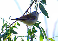Adult male Tennessee warbler