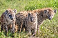 spotted hyena, or laughing hyena, Crocuta crocuta, Maasai Mara National Reserve, Kenya, Africa