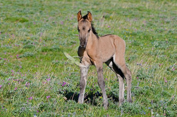 Wild Horse or feral horse (Equus ferus caballus) colt.  Western U.S., summer.  This colt shows some of the markings--dorsal stripe down its back and zebra stripes on its legs--of old spanish ancestry,