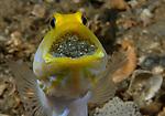 Yellow headed Jawfish Male with Eggs, Opistognathus aurifrons, Blue Heron Bridge, Florida