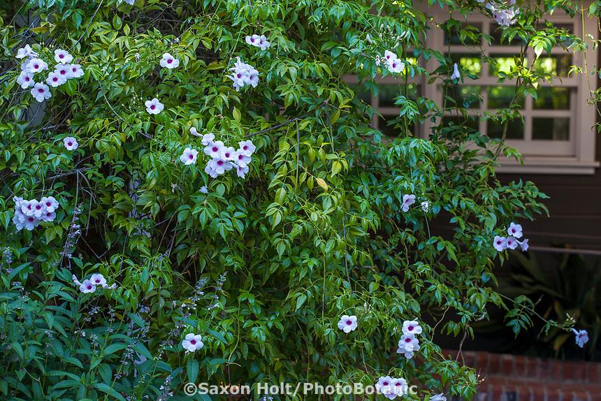 Pandorea jasminoides  Bower Vine, flowering vine, Marin Art and Garden Center