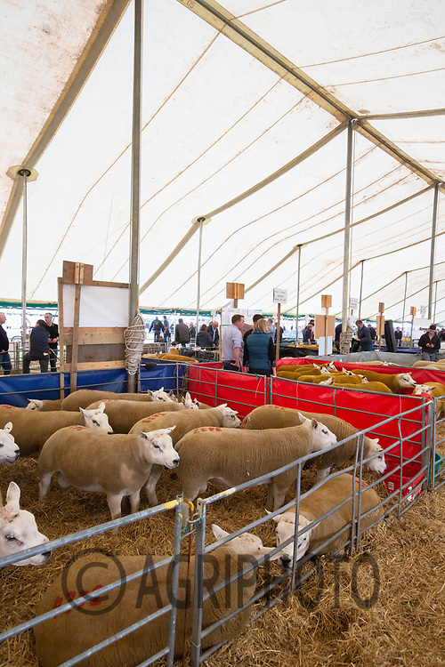 Pedigree Texel rams being sold at Kelso Ram Sales<br /> ©Tim Scrivener Photographer 07850 303986<br />      ....Covering Agriculture In The UK....