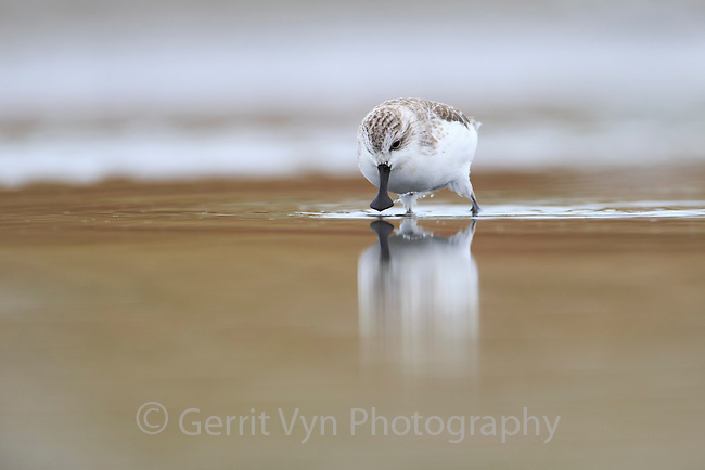 A Spoon-billed Sandpiper forages in a shallow fish pond near the Yellow Sea coast. In many areas of the Yellow Sea, shorebirds rely on fishponds for roosting becasue high tide habitat at the coast has been eliminated by development. Rudong, China. October.