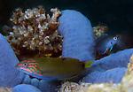 Blue Sea Star -wrasse-damsel , Anilao