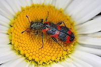 Zottiger Bienenkäfer, Bienenwolf, Immenkäfer, Trichodes alvearius, bee hive beetle