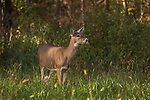 A cautious white-tailed doe in a northern Wisconsin meadow.