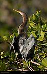 Anhinga Perched Posing in Bush American Darter Snakebird Sanibel Island Florida