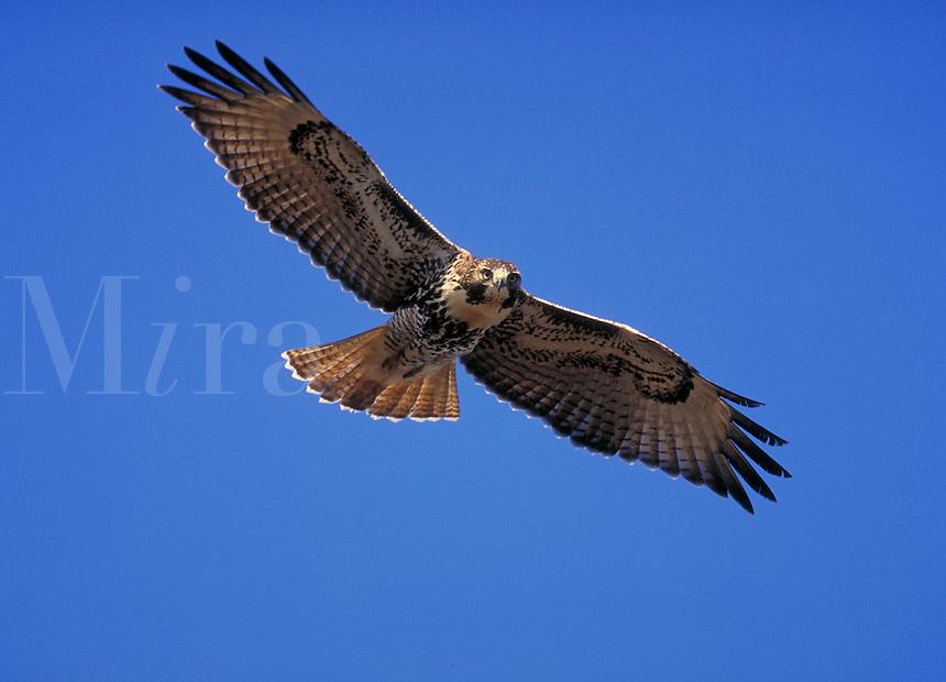Red-tailed Hawk in flight. Birds in flight. Minnesota.