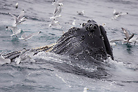 Humpback whale Megaptera novaeangliae bubble net feeding on Capelin and krill near Spitzbergen