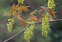 Acer macrophyllum (Big Leaf Maple tree) flower and leaves unfolding