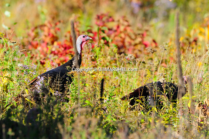 01225-112.07 Wild Turkey: Two toms pause while feeding on weed seeds in burn areas or overgrown clearcut during early fall.  Hunt, food, log, logging, meadow, fire.