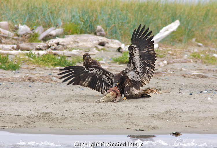 A juvenile bald eagle on Protection Island National Wildlife Refuge picks at a dead baby harbor seal carcass and uses its wings to keep the other eagle from sharing his prey. Protection Island National Wildlife Refuge.Protection Island Refuge is located near the mouth of Discovery Bay in the Strait of Juan de Fuca in Jefferson County, Washington. Approximately 70 percent of the nesting seabird population of Puget Sound and the Strait of Juan de Fuca nest on the island, which includes one of the largest nesting colonies of rhinoceros auklets in the world and the largest nesting colony of glaucous-winged gulls in Washington. The island contains one of the last 2 nesting colonies of tufted puffins in the Puget Sound area. About 1,000 harbor seals depend upon the island for a pupping and rest area...