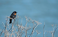 Male Red-winged Blackbird, Agelaius phoeniceus, at Cesar Chavez Park, on the shore of San Francisco Bay, Berkeley, California