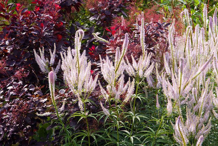 Veronicastrum virginicum Lavendelturm, Cotinus coggygria cv smokebush