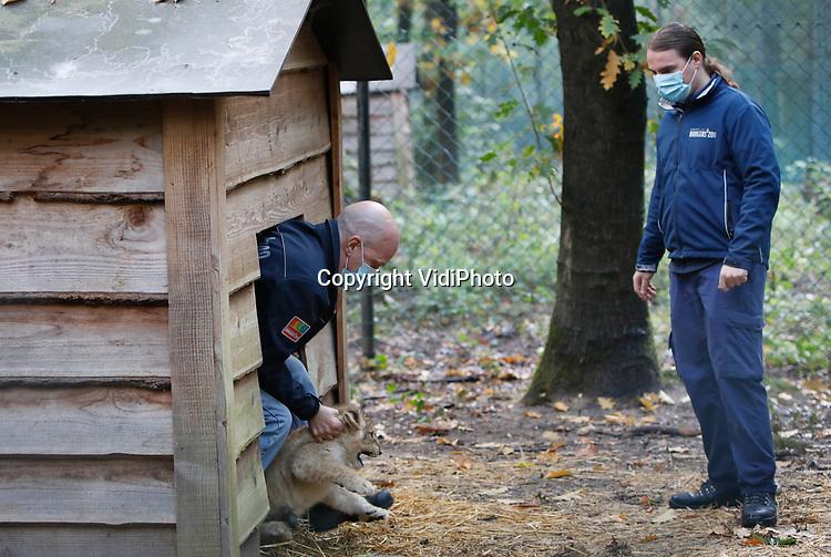 Foto: VidiPhoto<br /> <br /> ARNHEM – De twee leeuwenwelpen van Burgers' Zoo in Arnhem zijn geen katjes om zonder handschoenen aan te pakken. Dat bleek woensdagochtend toen ze voor de tweede en laatste maal tegen katten- en niesziekte werden geënt. De welpen hebben een 'booster' gekregen met een tussentijd van drie weken, zodat ze voortaan immuun zijn voor deze veelvoorkomende ziekte. De inmiddels stevige welpen -ze zijn nu negen weken oud- lieten zich niet zonder slag of stoot door de dierenarts onderzoeken. De welpen zijn niet gewend door mensenhanden aangeraakt te worden en daarom reageren ze fel: precies zoals ze in het wild zouden doen. Deze alerte reactie toont tevens aan dat de dieren kerngezond zijn. Na de tweede enting waren de welpen klaar voor de kennismaking met hun volwassen soortgenoten en mochten we ook het buitenverblijf in waar ze voor het eerst voor het publiek te zien waren.