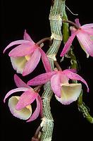 Dendrobium primulinum forma giganteum gorgeous orchid species on deciduous canes