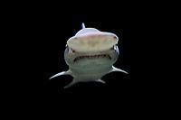 goblin shark, Mitsukurina owstoni, live specimen captured off Tokyo, Japan (c)