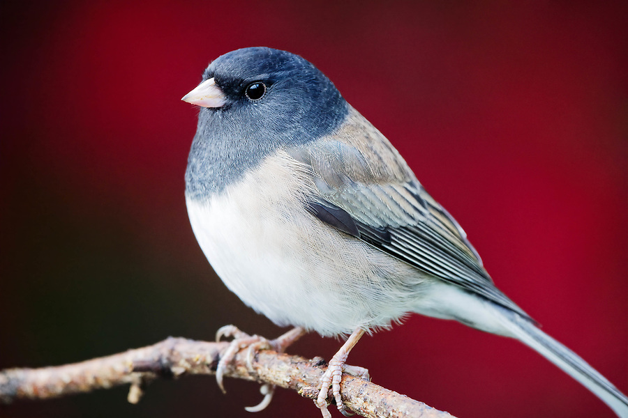 Dark-eyed Junco (Junco hyemalis) perched on branch, autumn colors in background, Snohomish, Washington, USA