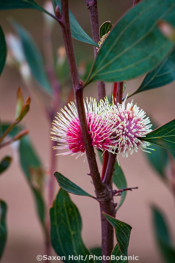 Hakea laurina Pin-cushion Hakea, Australian shrub flowering at Wild Ridge Organics