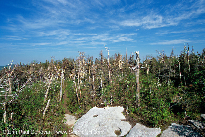 Standing snags (dead trees) along Caps Ridge trail in the Presidential Range of the White Mountain National Forest, New Hampshire USA.